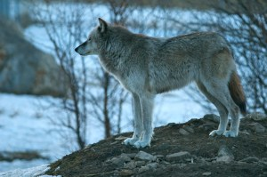 Pack animals like wolves served as perfect subject matter. — Carl Safina -
