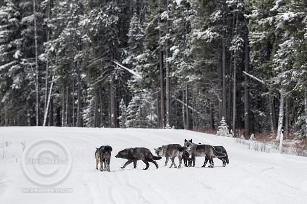 Great Lakes Wolf Delisting Threat Continues in 2016