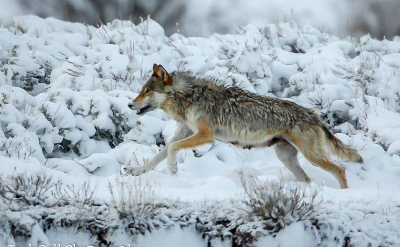 Letter to the Editor: To understand wolves, use science