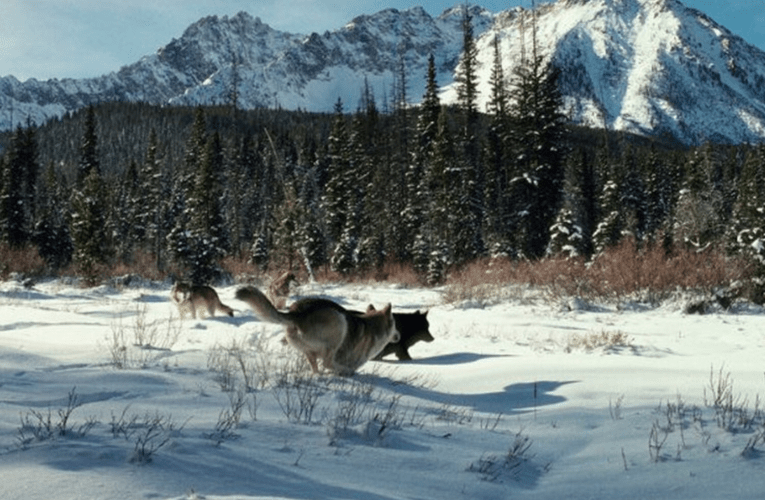OFFICIALS PERSIST IN KILLING WOLVES IN IDAHO'S CLEARWATER NATIONAL FOREST