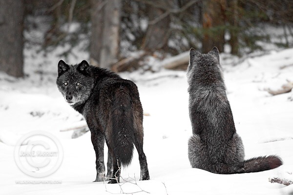 Take action to stop damaging policy riders that undermine protections for imperiled wolves.