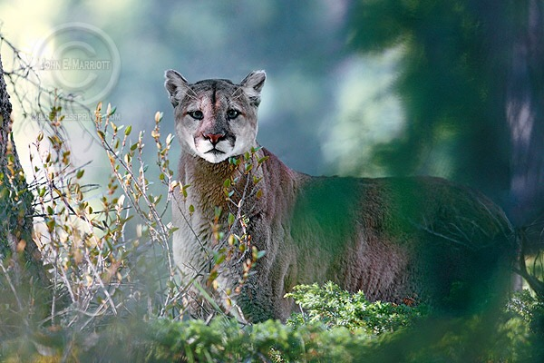 In Wisconsin Two Wheatland women said they heard and then saw a cougar Tuesday morning.