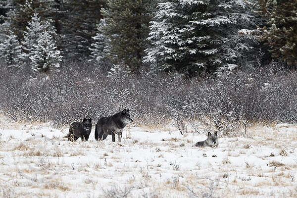 Gray wolves support each other in times of danger: Triangle saves his sister.