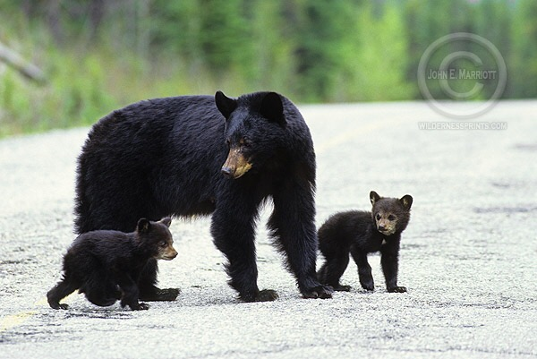 The sport of bear hounding results in injuries or death to both bears and dogs