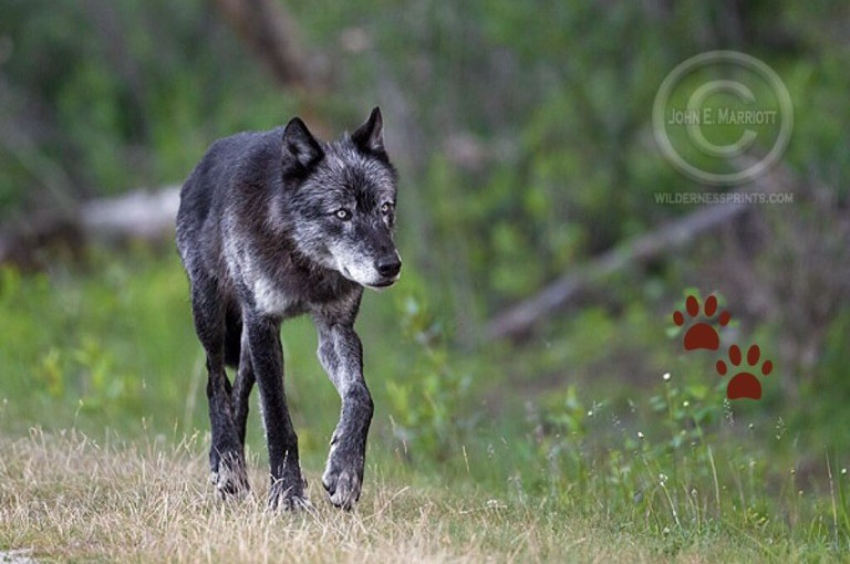 Opinion Editorial: Wisconsin is the only state in the nation that compensates hunters when wolves kill their animals…