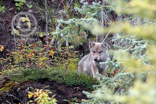 Letter to the Editor: Don't blame wolves for killing hounds