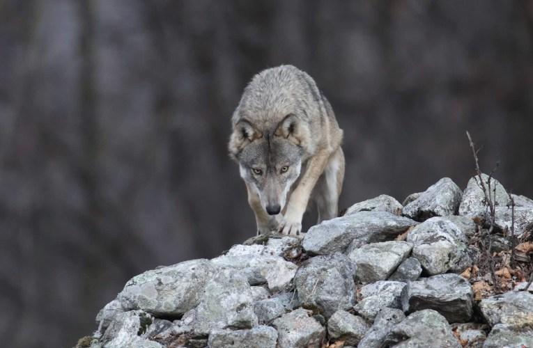 Il Progetto Life WolfAlps – Un progetto vitale per tutti.