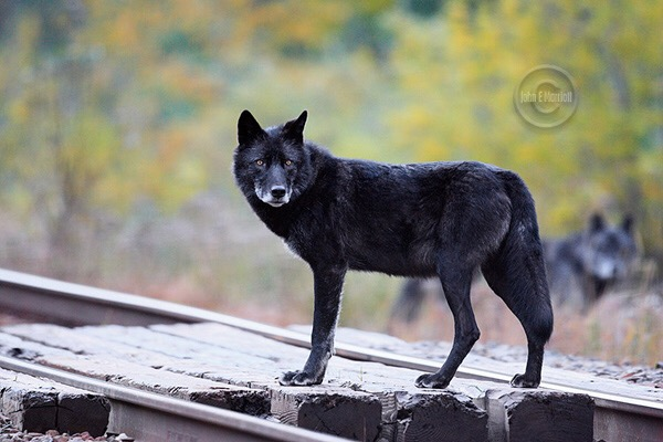 Spike in wolf depredation is a result of the class B bear license being eliminated…