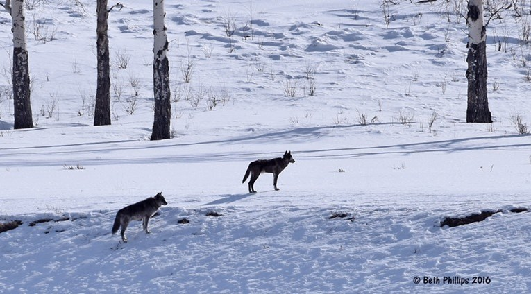 Beth Phillips: The role wolves play on the health of our ecosystems far outweighs a few negative effects