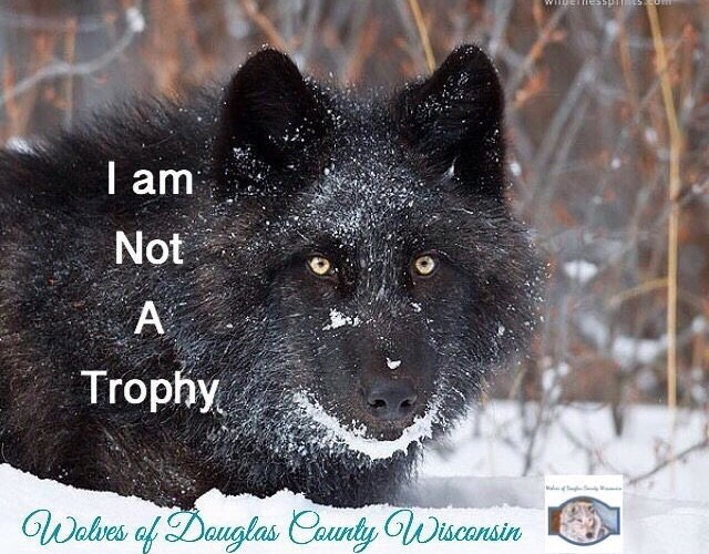 Change the the public' perception of wolves by being an effective advocate for wolves.