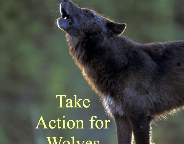 Urgent: Action needed for wolves in the Great Lakes & Wyoming