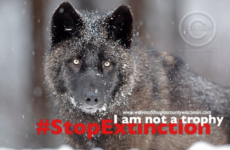 Help Wisconsin's wild wolf remain protected under the Endangered Species Act
