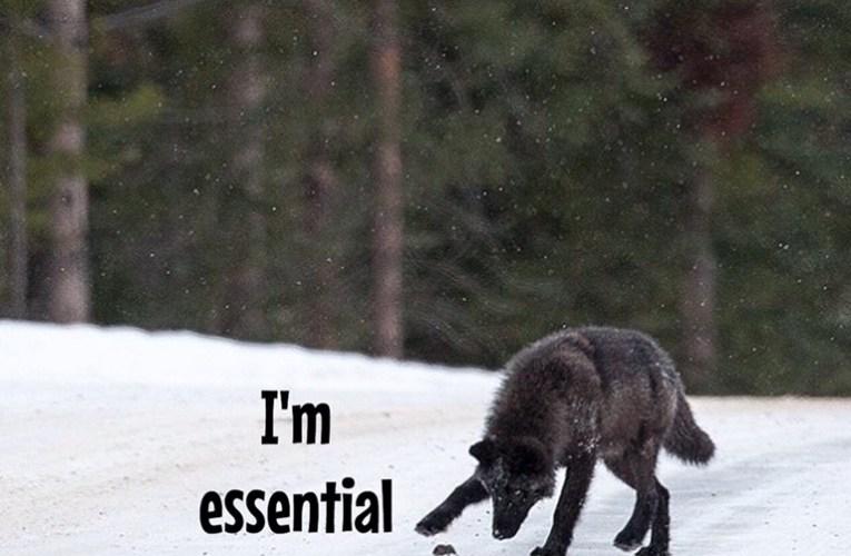 Bill Would Block Wisconsin Law Enforcement From Prosecuting Illegal Wolf Killings