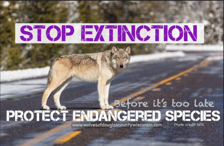 Gray Wolves Need Your Help…