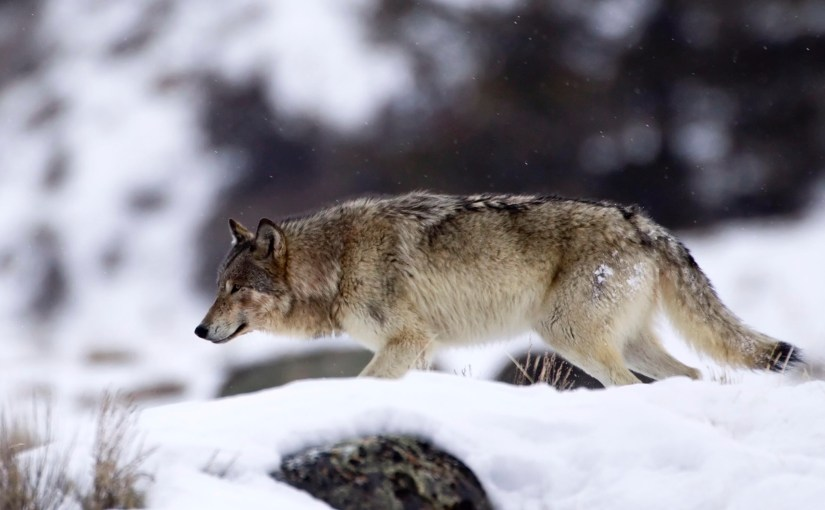 Get involved Be the Voice for America's Gray Wolf…