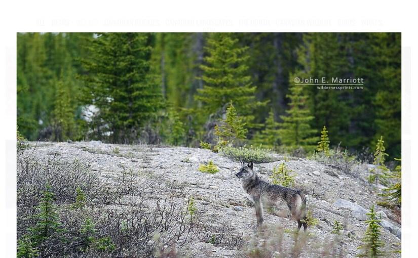 Wisconsin's Gray Wolf Needs Your Help…