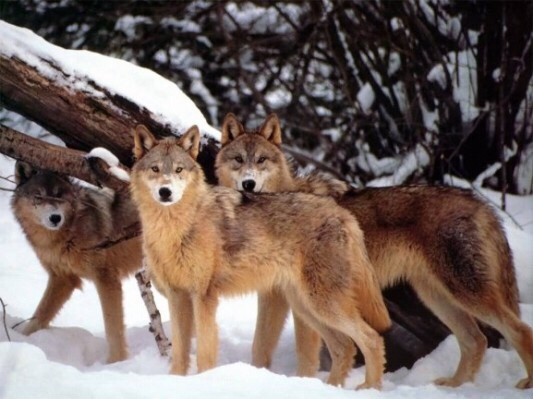 Vehicle Collisions and Illegal kills Were the Leading Causes of Death for Wisconsin's Gray Wolf