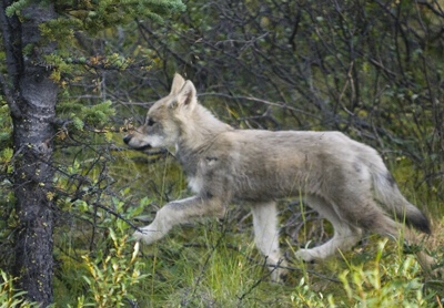 Four Gray Wolf Pups Found Dead in Wyoming…