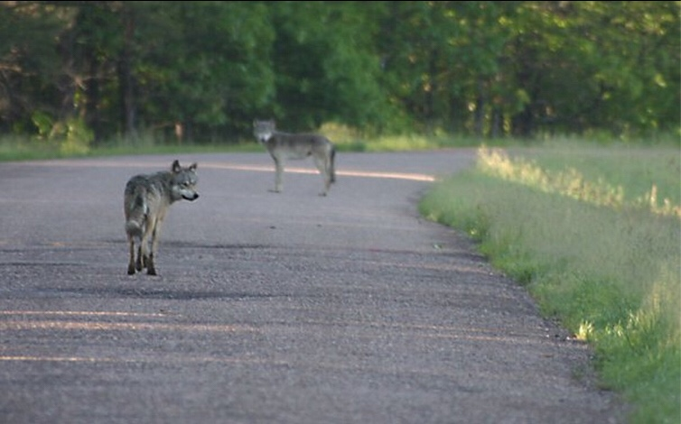 Will the Government Ever Get it Right on Delisting the Gray Wolf in the Great Lakes Region?