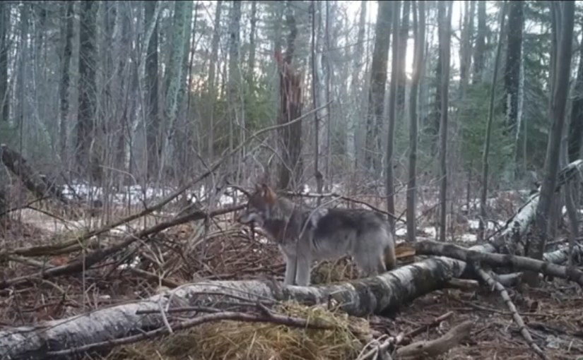 Letters to the Editor are Urgently Needed to Counter Anti Wolf Legislation…