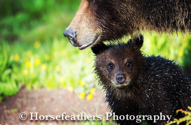 Protections Restored & Hunts on Grizzly Bears Blocked