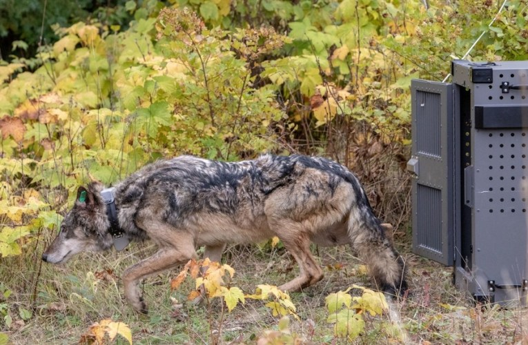 The first phase of a three to five year effort to relocate up to 20-30 wolves to the Isle Royale National Park has begun.