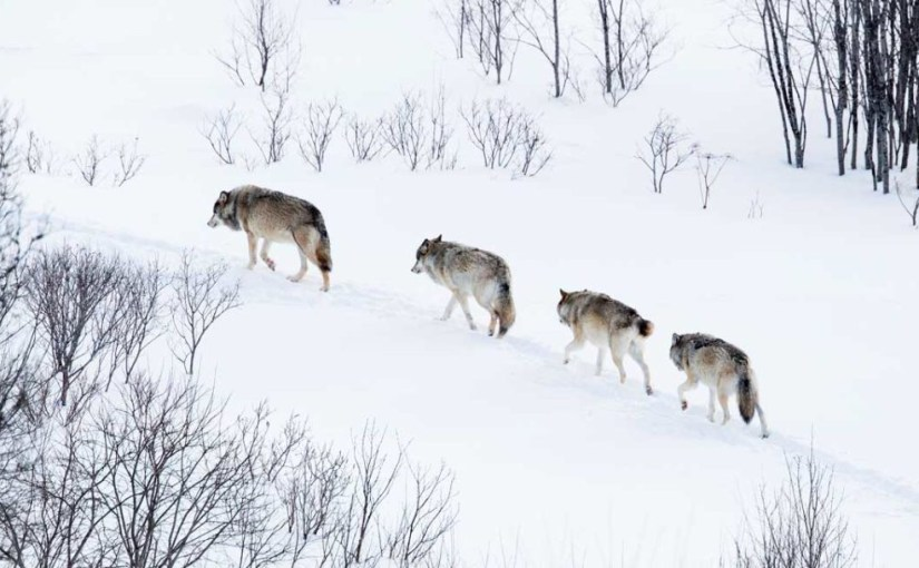 Urgent Action Required to Protect Gray Wolves From Delisting Threat in Wisconsin, Minnesota & Michigan…