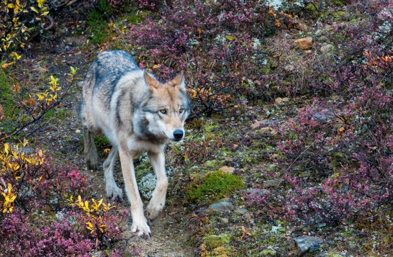 House Passes H.R. 6784 Requiring the Secretary of the Interior to Reissue Removal of Gray Wolf from ESL in the Lower 48 States…