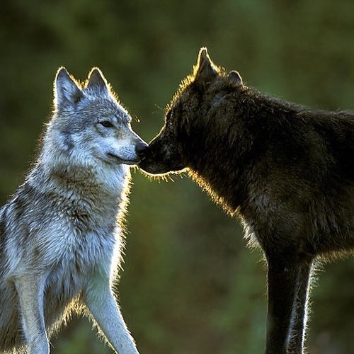Delisting Wisconsin's gray wolf would once again allow wolf hunters to run hound dogs on them…