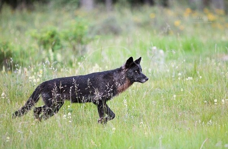 Lawsuit argues that wolves must remain federally protected until the Fish and Wildlife Service implements a national recovery plan.