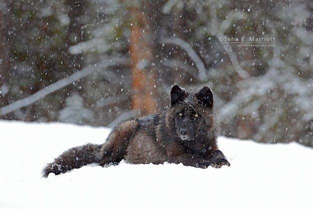 No need for alarm after dog/wolf encounter in Cable area, says expert…