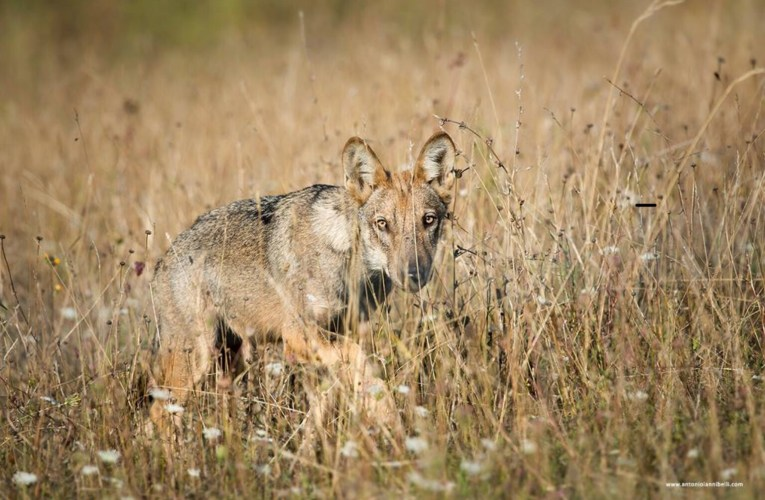 Inside the Heart of Wolf Advocacy: The Italian Story…