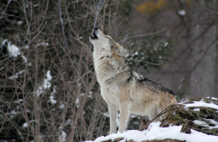 Wisconsin's Gray Wolf Will Likely Pay the Price for Sheep Farmers' Mistakes!