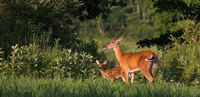 White-tailed deer are bad for wildflowers & sugar maples and research shows how wolves are keeping them in check