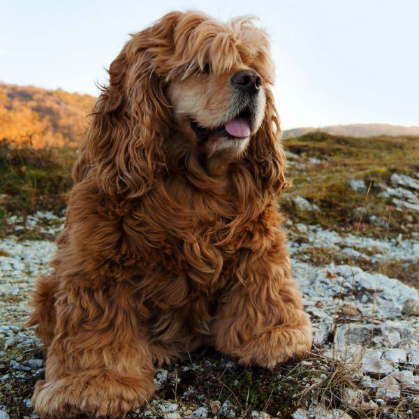 Собака с кучерявой шерстью