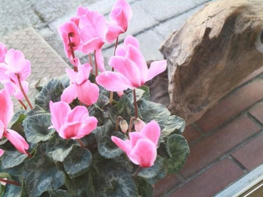 「It Wokashi」の外にあるシクラメンの花