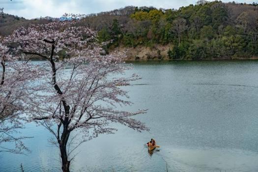 宮沢湖でカヌーと桜を楽しむ人