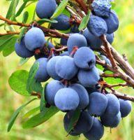 ableberries pierdere de grăsime