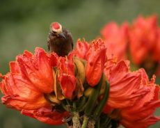 """Russian Spatodey /""""African Tulip Tree/"""" spatode seeds from Russia"""