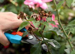 Уход за парковыми розами летом. Единые принципы обрезки. Роза парковая флюоресцент Rose Fluorescent