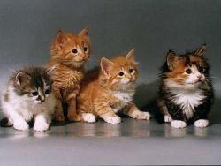 Как понять какой породы котенок. Как установить породу кошки: основные критерии определения