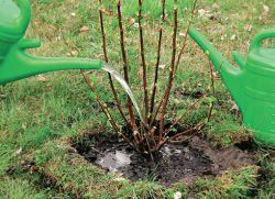 Чем подкармливать смородину весной советы садоводам