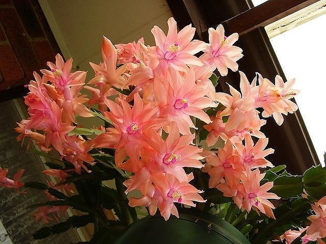 Маленькая хитрость: чтобы цветы в доме цвели пышно и долго!