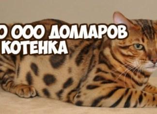 до 100 000 долларов за котенка