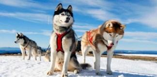 Хаски. Невероятные собаки, покорившие мир