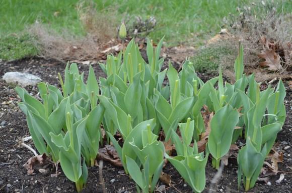 Headless tulips, courtesy of the neighborhood deer!