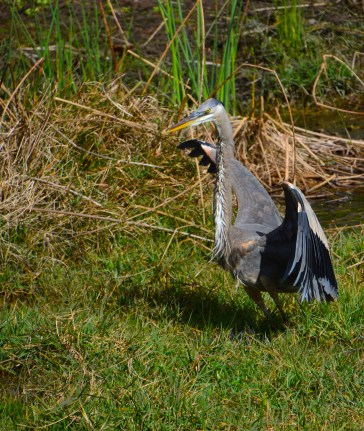 Blue or tri-colored Heron?