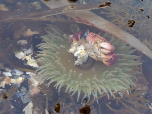 A crab playing with an urchin