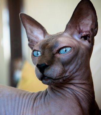 sphynx cat from photosofcats.net