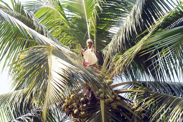 [India] Women coconut pollinators scale new heights